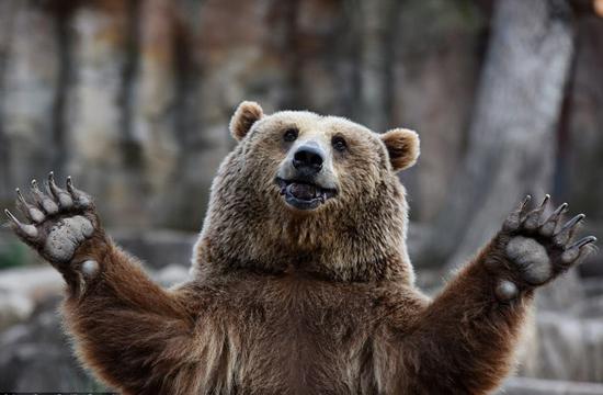 大家好,我的食物呢?马德里动物园,一头棕熊愉快的候餐时间。   体重可达数百公斤的棕熊,是可以引起致命伤害的大型哺乳动物。不过,西班牙马德里动物园这些正在焦急等待午餐,在摄像机前挥着爪子的大块头儿们,却很难不惹人喜爱。   世界上目前现有大约2万只棕熊,多数居住在俄罗斯。在加拿大西部和阿拉斯加,也生活着为数不少的棕熊。然而,自然环境的破坏和偷猎的猖獗持续威胁着棕熊的种群。