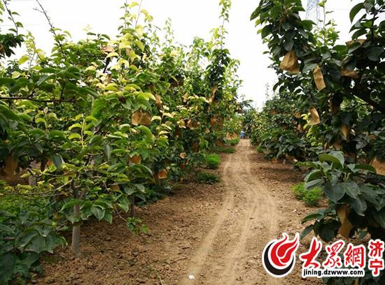 马营镇内的韩国梨种植园