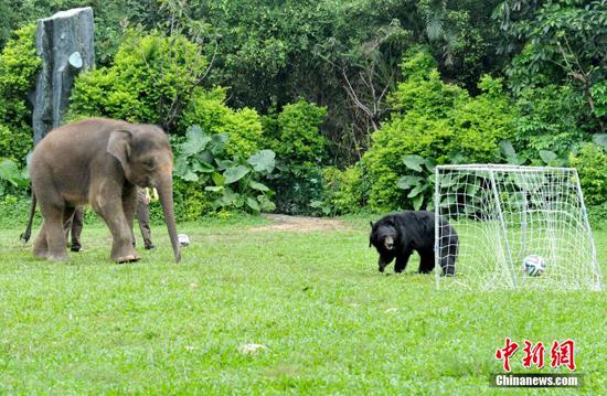 """广州长隆野生动物世界上演一场""""动物世界杯""""狂欢派对,大象点球黑熊"""