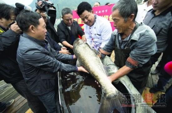 最大剁椒鱼头_最大剁椒鱼头将现厨师节 巨大鳙鱼重100多斤_大众网济宁站